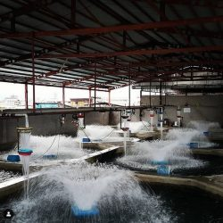 فروش ماهی قزل آلا آمل